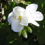 Geranie weisse Bluete Geranium phaeum album 01