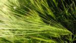 Gerste Aehre gruen Hordeum vulgare 11