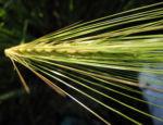 Gerste Aehre gruen Hordeum vulgare 16