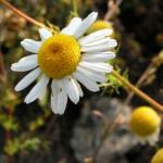 Geruchlose Kamille Tripleurospermum perforatum 02