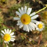 Geruchlose Kamille Tripleurospermum perforatum 05
