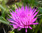 Gesellige Kratzdistel Bluete pink Cirsium acaule 02