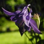 Bild:  Gewöhnliche Akelei Blüte lila Aquilegia vulgaris