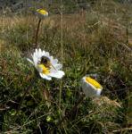 Gewoehnliche Alpenmargerite Bluete weiss Leucanthemopsis alpina 31