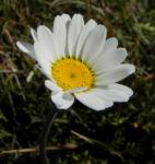 Gewoehnliche Alpenmargerite Bluete weiss Leucanthemopsis alpina 37