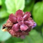 Gewoehnliche Braunelle Bluete lila Prunella vulgaris 05