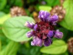 Gewoehnliche Braunelle Bluete lila Prunella vulgaris 07