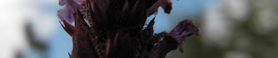 Anklicken um das ganze Bild zu sehen Gewöhnliche Braunelle Blüte lila Prunella vulgaris