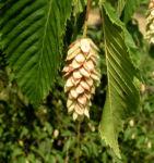 Gewoehnliche Hopfenbuche Frucht beige Ostrya carpinifolia 02