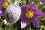Gewoehnliche Kuechenschelle Bluete lila Pulsatilla vulgaris 01