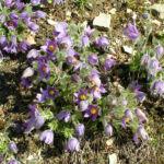 Gewoehnliche Kuechenschelle Bluete lila Pulsatilla vulgaris 02