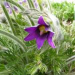 Gewoehnliche Kuechenschelle Bluete purpur Pulsatilla vulgaris 01