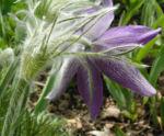 Gewoehnliche Kuechenschelle Bluete purpur Pulsatilla vulgaris 04