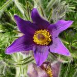 Gewoehnliche Kuechenschelle Bluete purpur Pulsatilla vulgaris 05