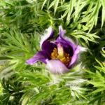 Gewoehnliche Kuechenschelle Bluete purpur Pulsatilla vulgaris 09