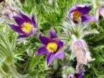 Gewoehnliche Kuechenschelle Bluete purpur Pulsatilla vulgaris 11