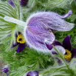 Gewoehnliche Kuechenschelle Pulsatilla vulgaris 02
