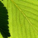 Gewoehnliche Mehlbeere Baum Bluete weiss Sorbus aria 03