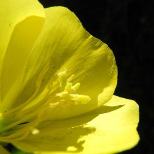 Gewoehnliche Nachtkerze Bluete gelb Oenothera biennis 06