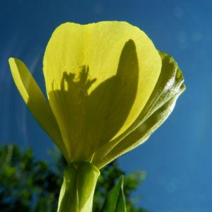 Gewoehnliche Nachtkerze Bluete gelb Oenothera biennis 12