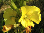 Bild:  Gewöhnliche Nachtkerze Blüte sattgelb Oenothera biennis