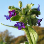 Bild:  Gewöhnliche Ochsenzunge Blatt Blüte blau lila Anchusa officinalis
