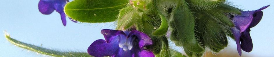 gewoehnliche-ochsenzunge-blatt-bluete-blau-lila-anchusa-officinalis
