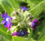 Gewoehnliche Ochsenzunge Blatt Bluete blau lila Anchusa officinalis 02