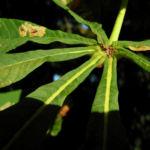 Gewoehnliche Rosskastanie Baum Blatt gruen Aesculus hippocastanum 03