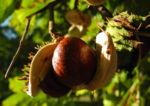 Gewoehnliche Rosskastanie Baum Frucht braun Aesculus hippocastanum 18