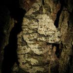 Bild:  Gewöhnliche Rosskastanie Aesculus hippocastanum