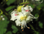 Gewoehnliche Rosskastanie Bluete weiß Aesculus hippocastanum 04