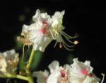 Gewoehnliche Rosskastanie Bluete weiß Aesculus hippocastanum 05