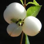 Gewoehnliche Schneebeere Beere weiss Symphoricarpos albus 05