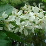 Gewoehnliche Traubenkirsche Bluete Prunus padus 02