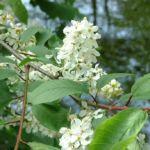 Gewoehnliche Traubenkirsche Bluete Prunus padus 10
