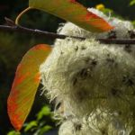 Gewoehnliche Waldrebe Frucht Clematis vitalba 01