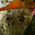Gewoehnliche Waldrebe Frucht Clematis vitalba 03