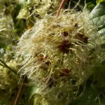 Gewoehnliche Waldrebe Frucht Clematis vitalba 04