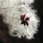 Gewoehnliche Waldrebe Samen weiss Clematis vitalba 07