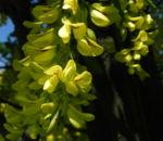 Gewoehnlicher Goldregen Bluete gelb Laburnum anagyroides 02