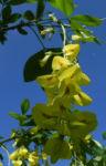 Gewoehnlicher Goldregen Bluete gelb Laburnum anagyroides 07