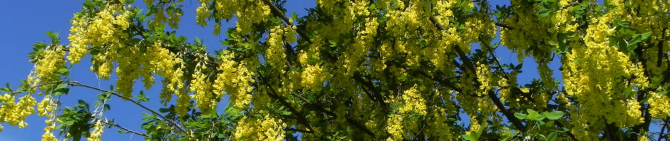 gemeiner-goldregen-gewoehnlicher-goldregen-bluete-gelb-laburnum-anagyroides