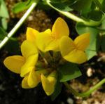 Gewoehnlicher Hornklee Bluete gelb Lotus corniculatus 03
