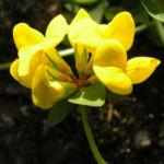 Gewoehnlicher Hornklee Bluete gelb Lotus corniculatus 07