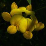 Gewoehnlicher Hornklee Bluete Lotus corniculatus 03