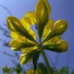 Gewoehnlicher Hornklee Bluete Lotus corniculatus 04