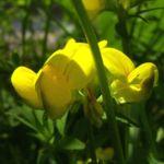 Gewoehnlicher Hornklee Bluete Lotus corniculatus 05
