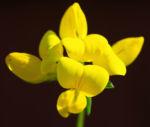 Gewoehnlicher Hornklee Kraut Bluete gelb Lotus corniculatus 01