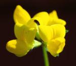 Gewoehnlicher Hornklee Kraut Bluete gelb Lotus corniculatus 02